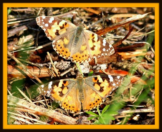 British Butterfly Painted Lady Photograph