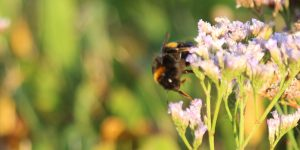 Bumblebee at Gibraltar Point