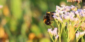 Bumblebee at Gibraltar Point