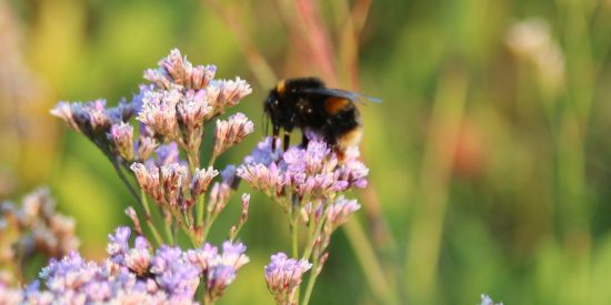 Bumblebee on Sea Lavender
