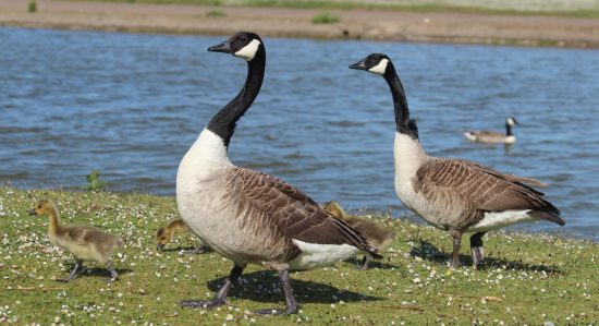 Canadian Geese Skegness Boating Lake