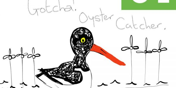 Oyster Catcher Illustration