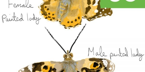 Painted Lady Butterfly Illustration