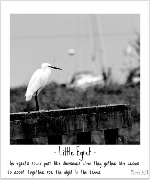 Little Egret Image