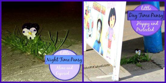 Pavement Pansy Photograph