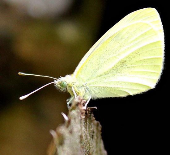 Small White Butterfly Photograph - by Marie Law-