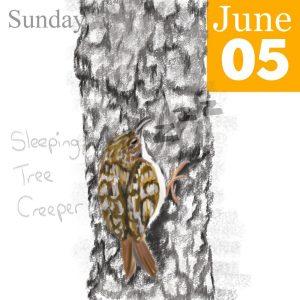 Tree Creeper Illustration