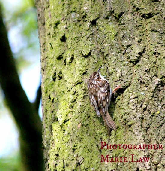 Tree Creeper Picture