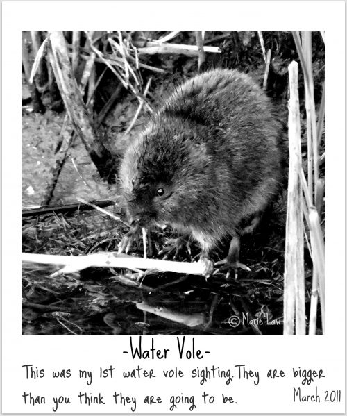 Water Vole Photo